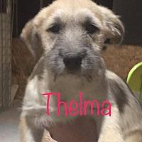 Adopt A Pet :: Thelma - El Paso, TX