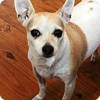 Adopt A Pet :: Nancy--dainty sweetheart N - Santa Fe, TX