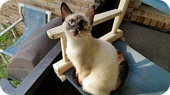 Siamese Cat for adoption in Crestview, Florida - Pepper