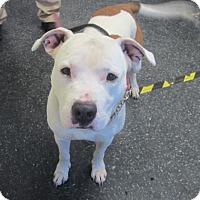 Adopt A Pet :: Ray Ray - Menands, NY