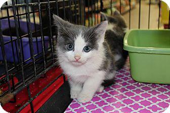 Maine Coon Kitten for adoption in Santa Monica, California - Jordan