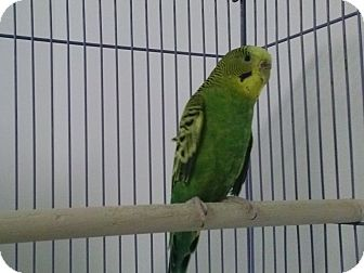 Budgie for adoption in Grandview, Missouri - Amanda