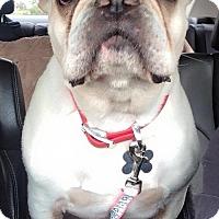 Adopt A Pet :: Louie - Henderson, NV
