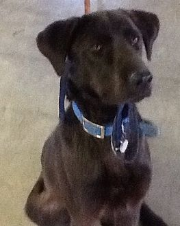 Labrador Retriever Mix Dog for adoption in Greeneville, Tennessee - Dunn