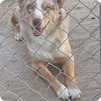 Adopt A Pet :: Chase - Greeley, CO