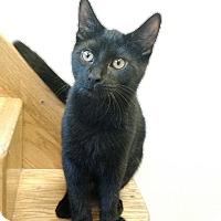 Adopt A Pet :: Iron Mew - Chicago, IL