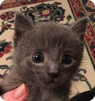 Domestic Shorthair Kitten for adoption in Merrifield, Virginia - Stormy