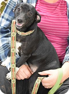 Rat Terrier/Beagle Mix Dog for adoption in Lisbon, Ohio - Carrie