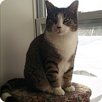 Domestic Shorthair Cat for adoption in Cedar Springs, Michigan - Marshall