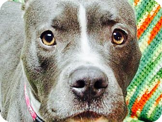 Pit Bull Terrier/American Staffordshire Terrier Mix Dog for adoption in Columbia Heights, Minnesota - Geisha