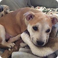 Adopt A Pet :: Becky - Baltimore, MD