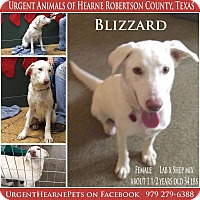 Adopt A Pet :: Blizzard - Hearne, TX
