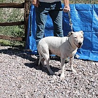 Pit Bull Terrier Dog for adoption in Golden Valley, Arizona - Mandi