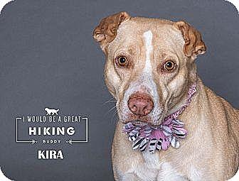 Labrador Retriever/American Staffordshire Terrier Mix Dog for adoption in Boise, Idaho - Kira