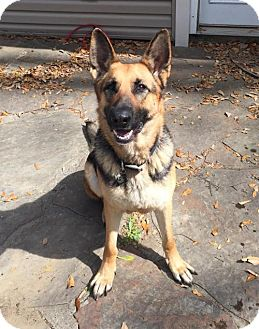 German Shepherd Dog Dog for adoption in Baton Rouge, Louisiana - Lady 1