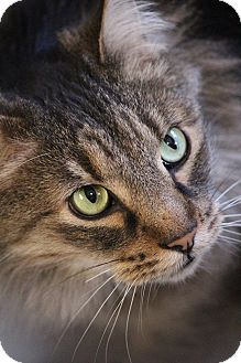 Domestic Mediumhair Cat for adoption in Colorado Springs, Colorado - Kristoff