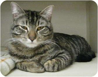 Domestic Shorthair Cat for adoption in Mesa, Arizona - Church