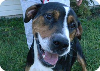 Entlebucher/Greater Swiss Mountain Dog Mix Dog for adoption in Jacksonville, Florida - Hauns