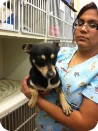 Chihuahua Mix Dog for adoption in Tucson, Arizona - Mikito