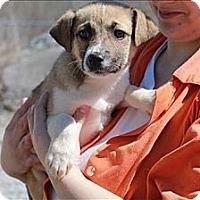 Adopt A Pet :: Hattie - Chicago, IL