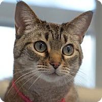 Domestic Shorthair Cat for adoption in Denver, Colorado - Eva