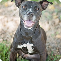 Pit Bull Terrier Mix Dog for adoption in Houston, Texas - Layla