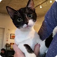 Adopt A Pet :: Matisse - St. Louis, MO