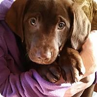 Adopt A Pet :: Snickers - Wilmington, DE