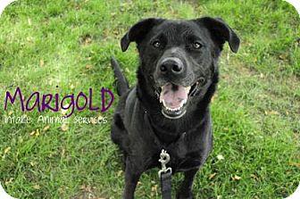 Labrador Retriever Mix Dog for adoption in Hamilton, Ontario - Marigold