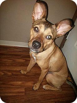 Shepherd (Unknown Type) Mix Puppy for adoption in Hinesville, Georgia - Bear