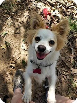 Pomeranian/Papillon Mix Dog for adoption in Flower Mound, Texas - Tank