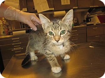 Domestic Shorthair Kitten for adoption in Cumming, Georgia - Bruno