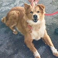 Anatolian Shepherd/Corgi Mix Dog for adoption in Burbank, California - Teddy Bear - VIDEO