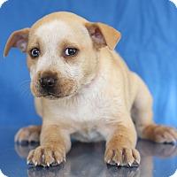 Adopt A Pet :: Pepper - Waldorf, MD
