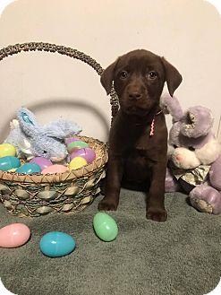 Labrador Retriever Mix Puppy for adoption in New Oxford, Pennsylvania - Symphony