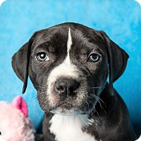 Adopt A Pet :: ELVIS - Knoxville, TN