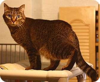American Shorthair Cat for adoption in Lombard, Illinois - Callie