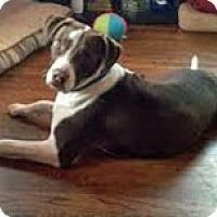Adopt A Pet :: Bear - Framingham, MA