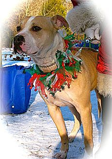 American Bulldog/Terrier (Unknown Type, Medium) Mix Dog for adoption in Media, Pennsylvania - TIGGER