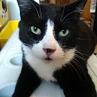 Domestic Shorthair Cat for adoption in Abrams, Wisconsin - Lightening