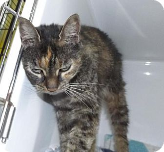 Domestic Shorthair Cat for adoption in Orleans, Vermont - Lulu