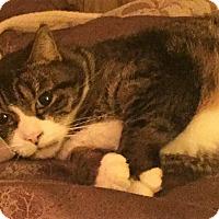 Adopt A Pet :: Barney B Jones (declawed) - Chattanooga, TN