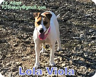 Australian Shepherd/Jack Russell Terrier Mix Dog for adoption in Pryor, Oklahoma - Lola Viola