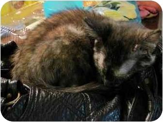 American Shorthair Cat for adoption in Little Rock, Arkansas - Josie