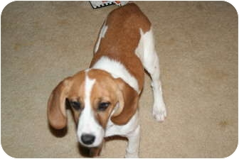 Beagle/Basset Hound Mix Puppy for adoption in Westfield, Indiana - Shelby