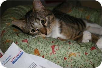 Domestic Shorthair Cat for adoption in St. Louis, Missouri - Antonio