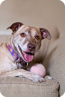 Terrier (Unknown Type, Medium) Mix Dog for adoption in Sinking Spring, Pennsylvania - Cheyenne