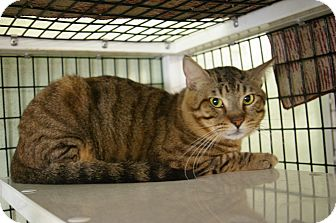Domestic Shorthair Cat for adoption in Brooksville, Florida - Pantera