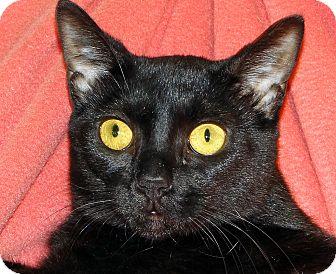 Domestic Shorthair Cat for adoption in Renfrew, Pennsylvania - Lyric