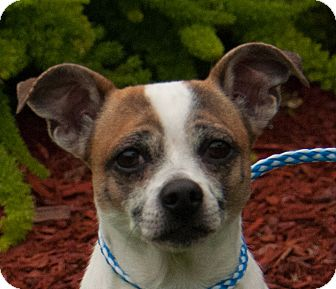 Jack Russell Terrier Mix Dog for adoption in Seattle, Washington - Pistachio